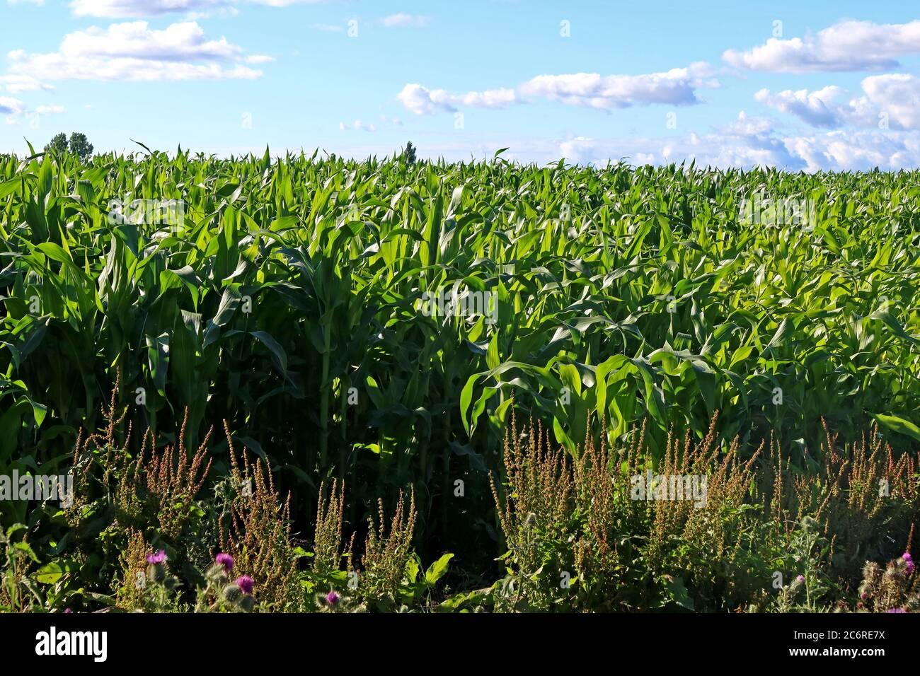 GoTonySmith,HotpixUK,@HotpixUK,England,Cheshire,UK,Maize field,farming,farmed,field of maize,field of corn,cereal grain,cereal,grain