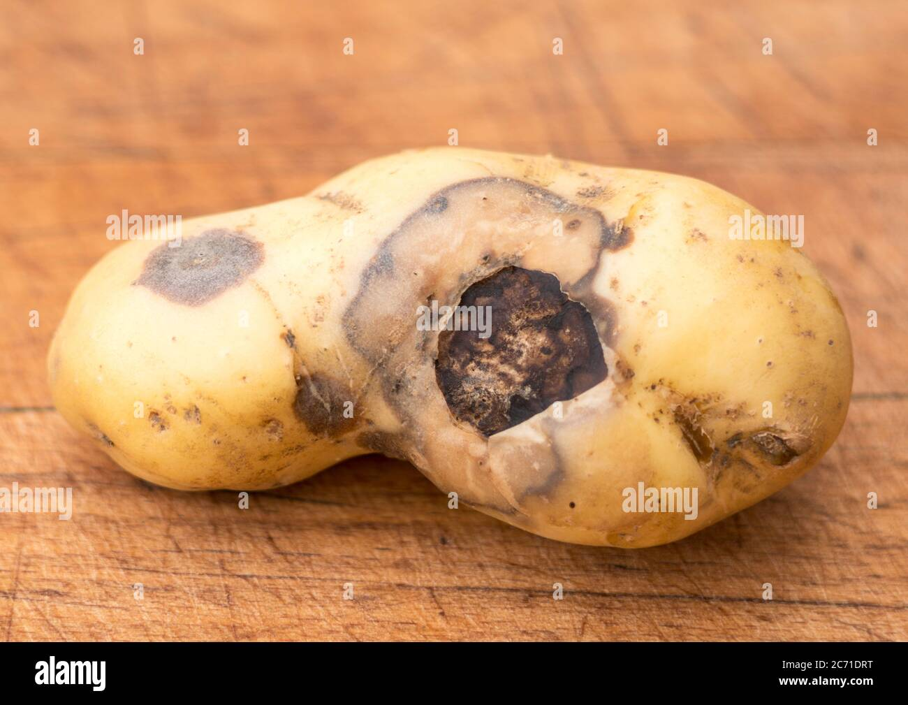 A potato tuber, variety Charlotte,  showing damage due to fungal disease, possibly blight Stock Photo