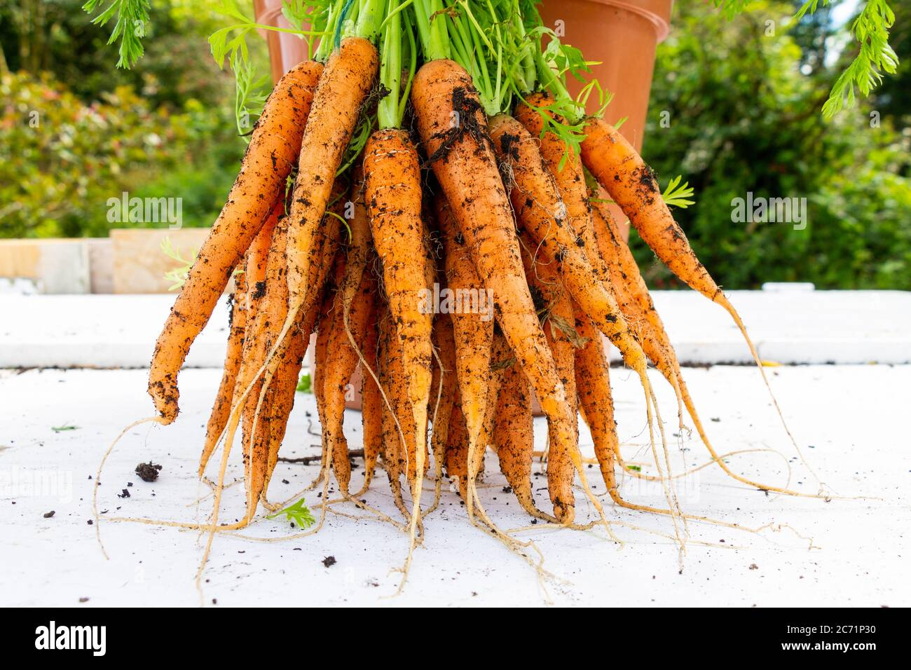 bunch-of-home-grown-carrots-grown-in-a-10-inch-pot-2C71P30.jpg
