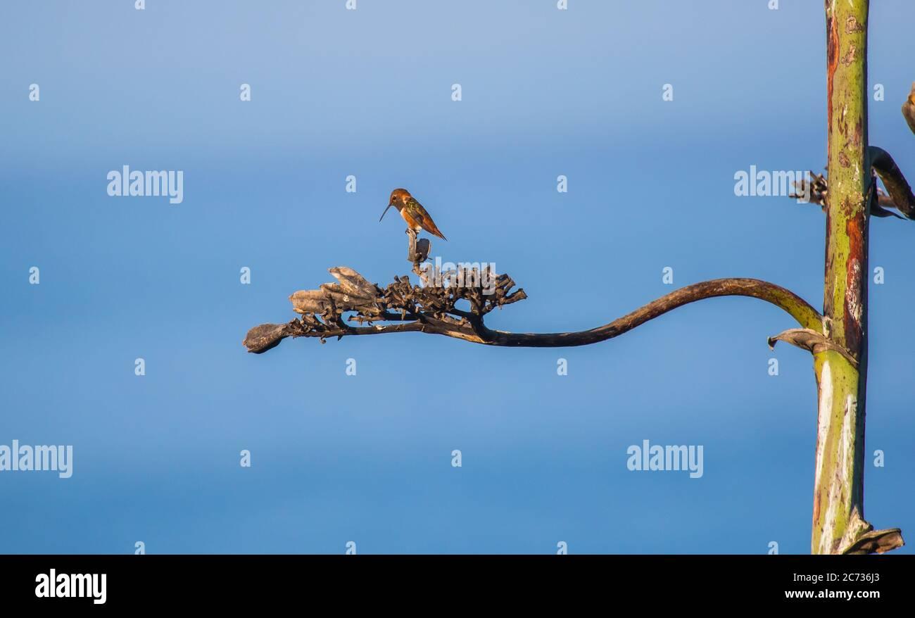 rufous-hummingbird-selasphorus-rufus-fro