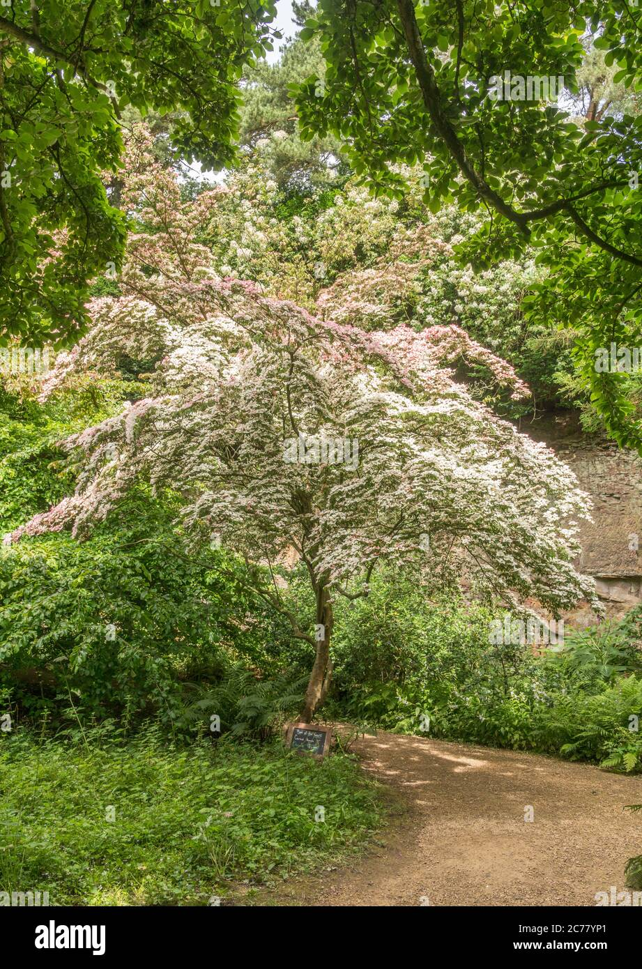 Chinese Dogwood, Cornus Kousa, in flower at the  Belsay Hall estate, Northumberland, England, UK Stock Photo
