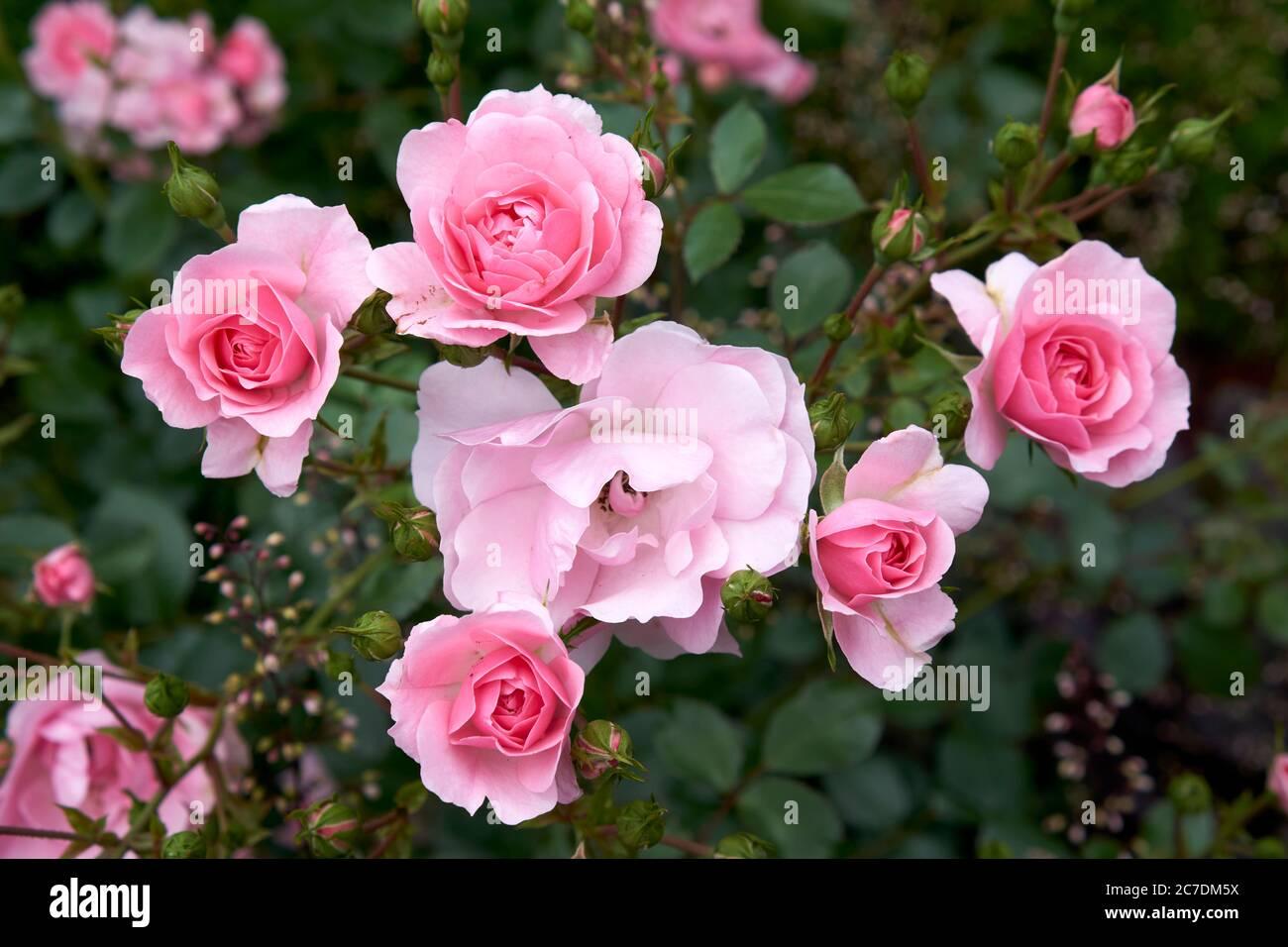 pink-roses-2C7DM5X.jpg