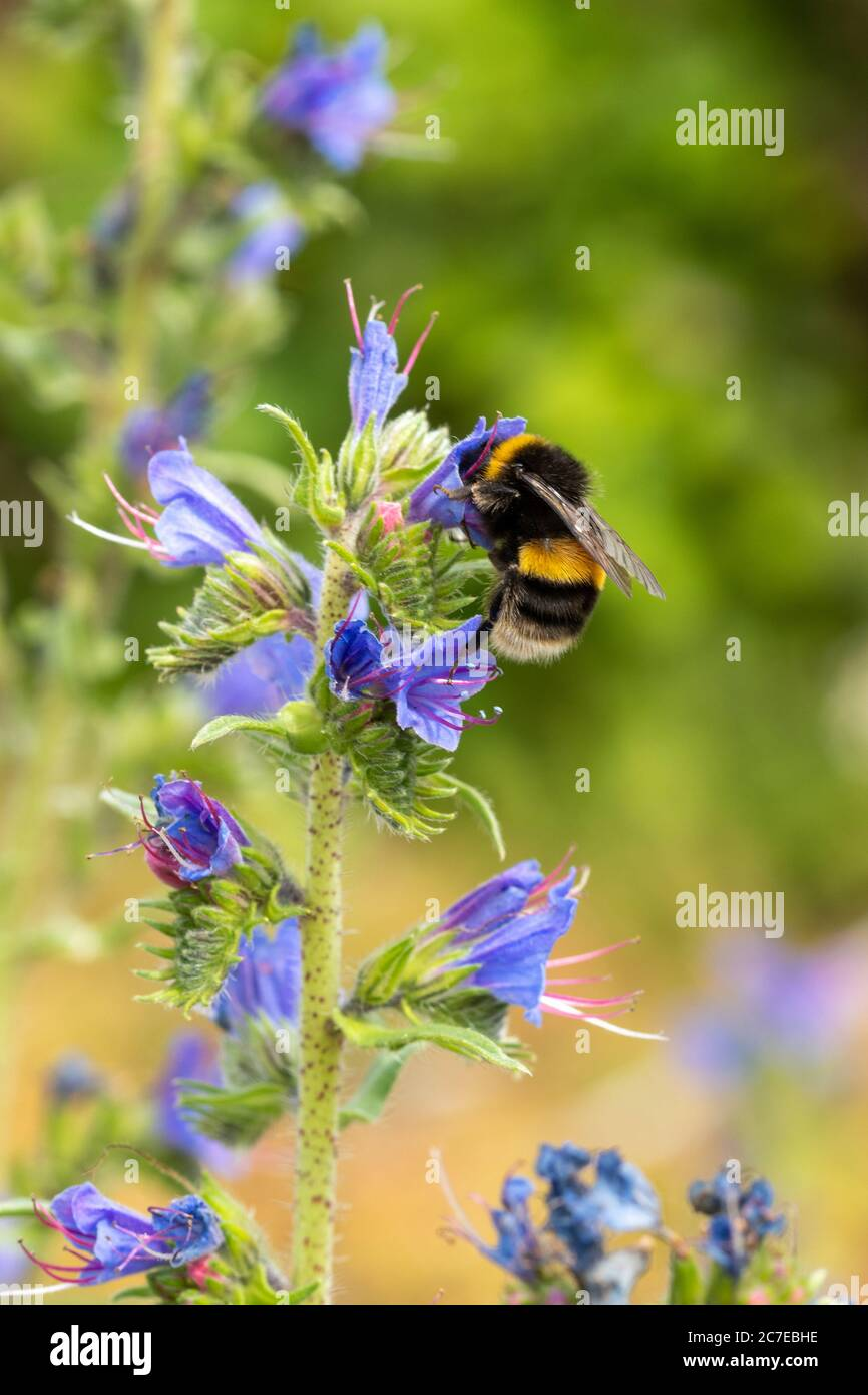bumblebee-collecting-nectar-and-pollen-from-vipers-bugloss-wildflower-echium-vulgare-with-blue-flowers-in-july-uk-2C7EBHE.jpg