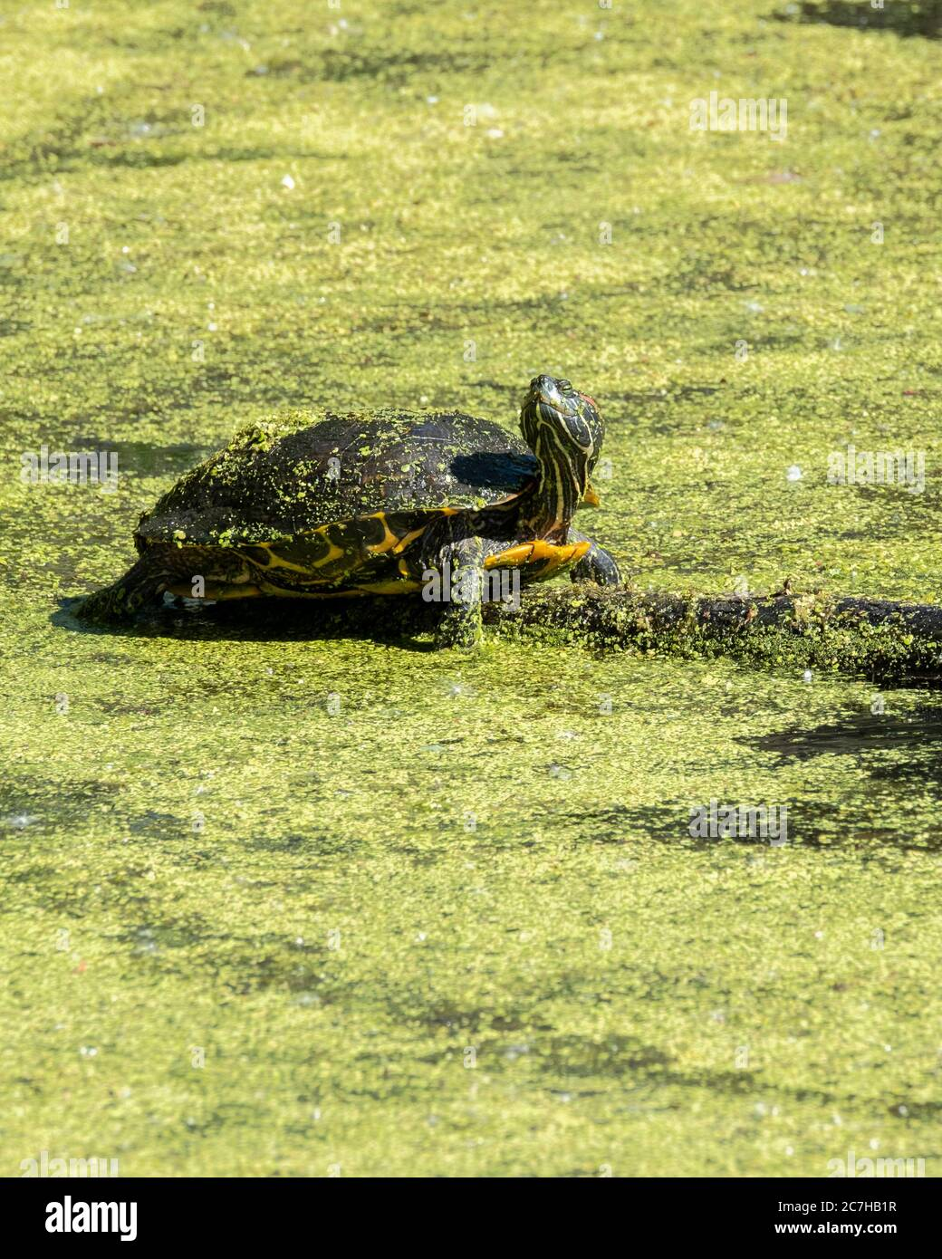 a-red-eared-slider-turtle-trachemys-scri