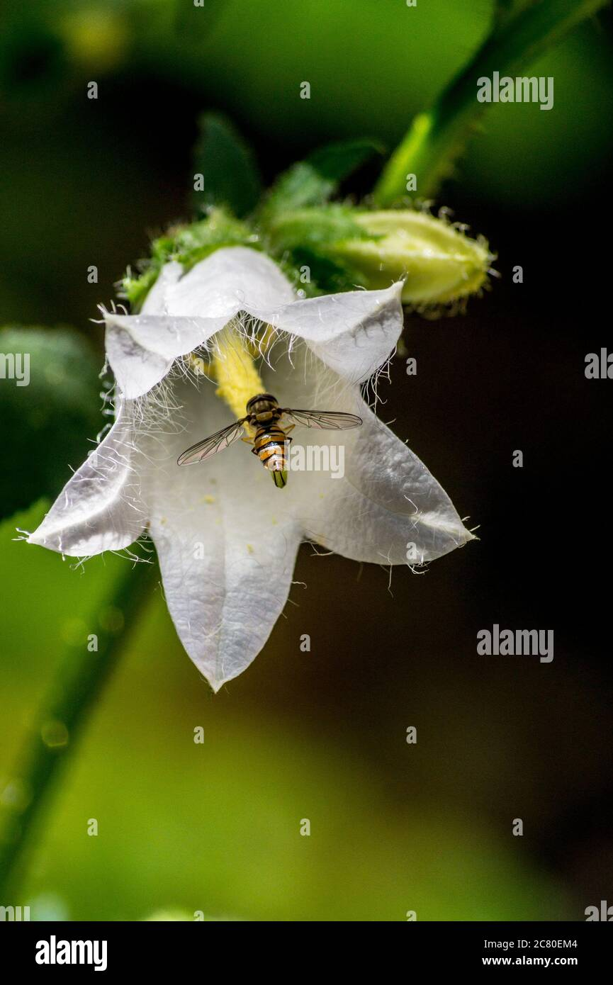marmalade-hoverfly-episyrphus-balteatus-on-a-white-nettle-leaved-bellflower-campanula-trachelium-var-alba-in-a-garden-in-london-england-2C80EM4.jpg