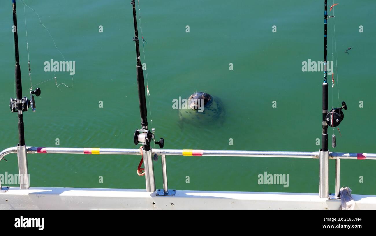 halichoerus-grypus-grey-seal-with-sea-angling-fishing-rods-2C857N4.jpg