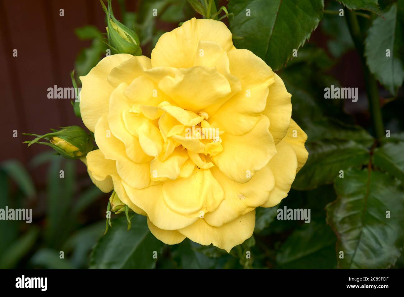 closeup-of-a-large-yellow-rose-blooming-