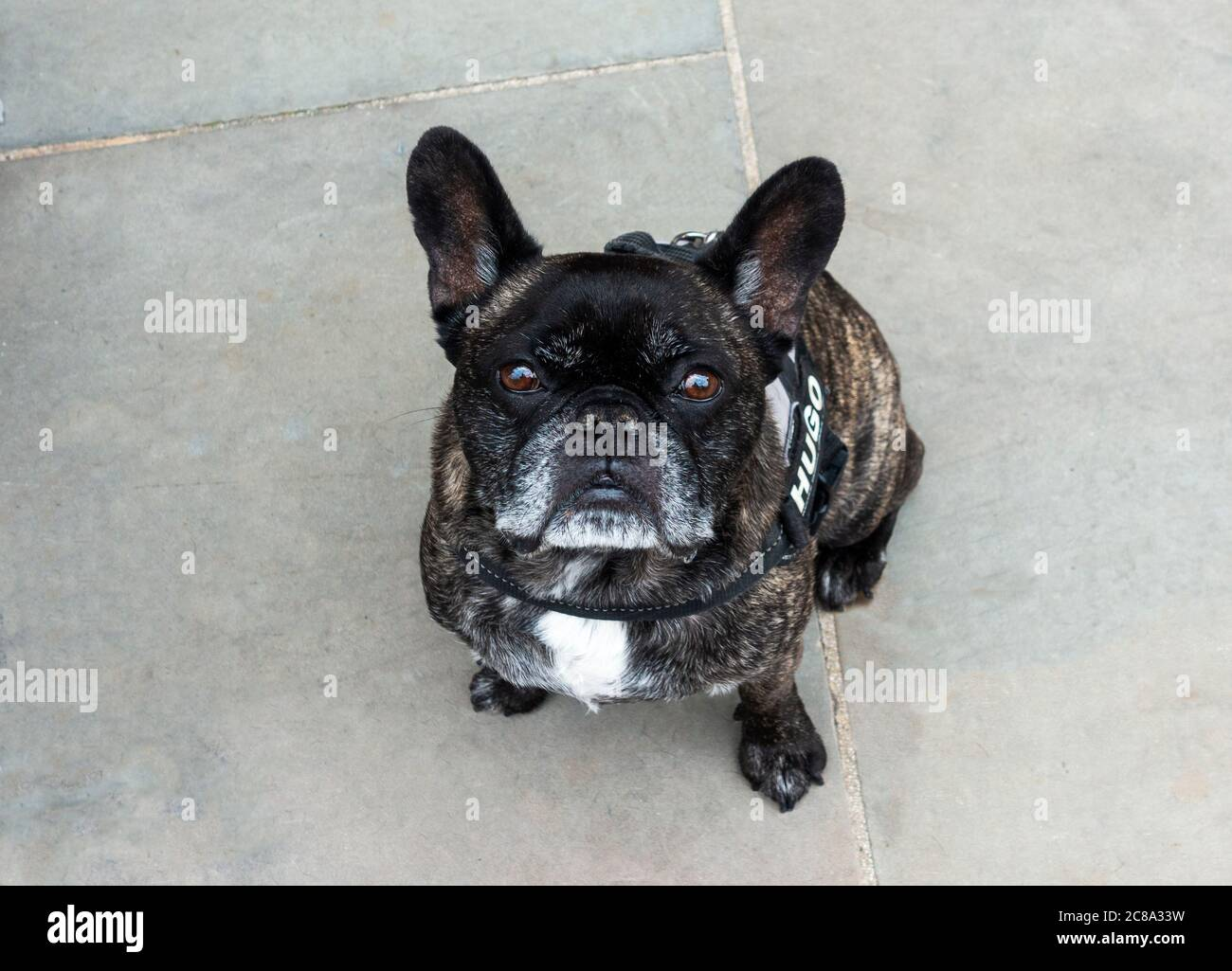 hugo-a-french-bulldog-living-in-liverpoo