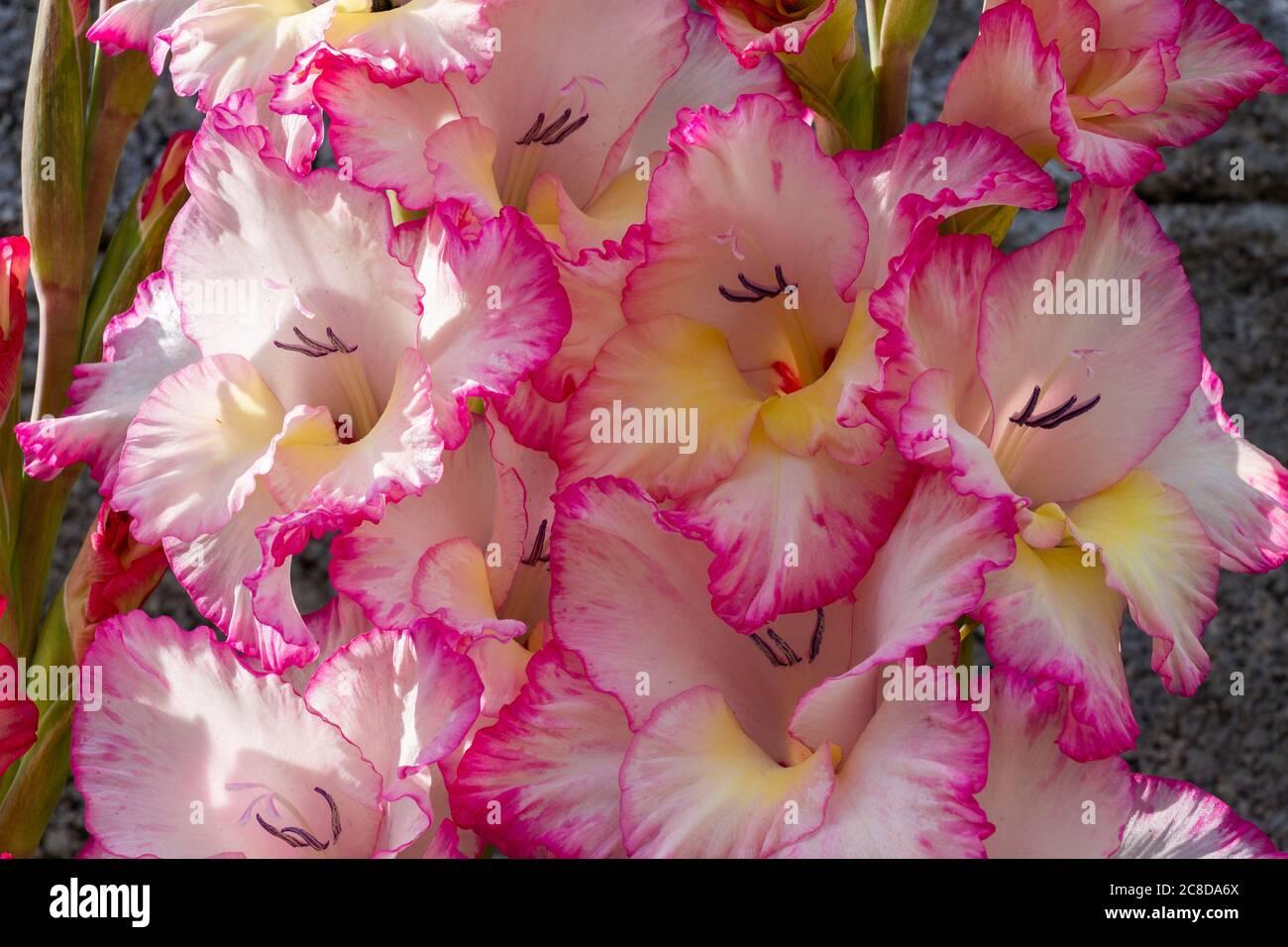 gladiolus-priscilla-in-full-summer-flower-2C8DA6X.jpg