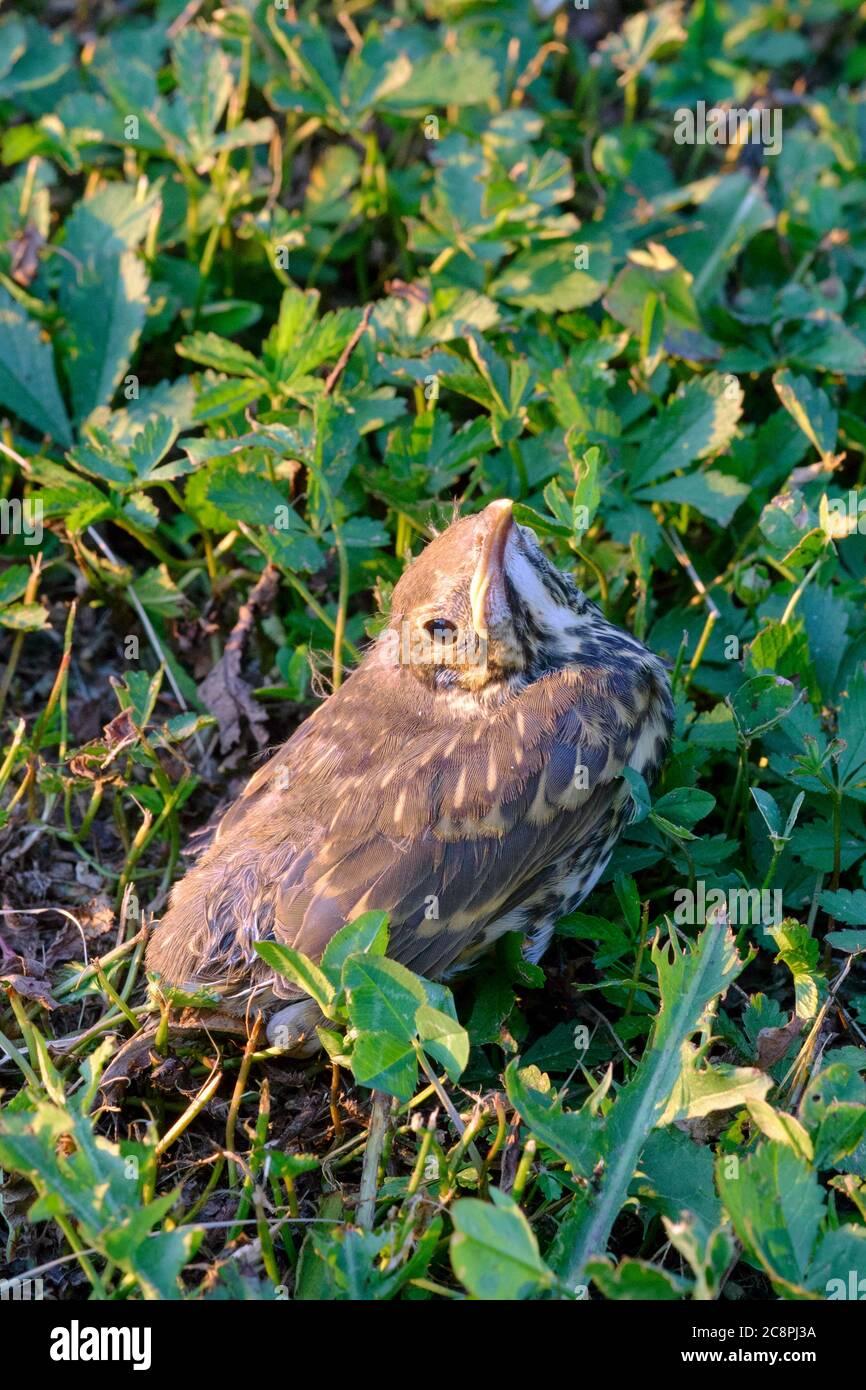 thrush chick sitting on the ground of rural garden zala county hungary Stock Photo