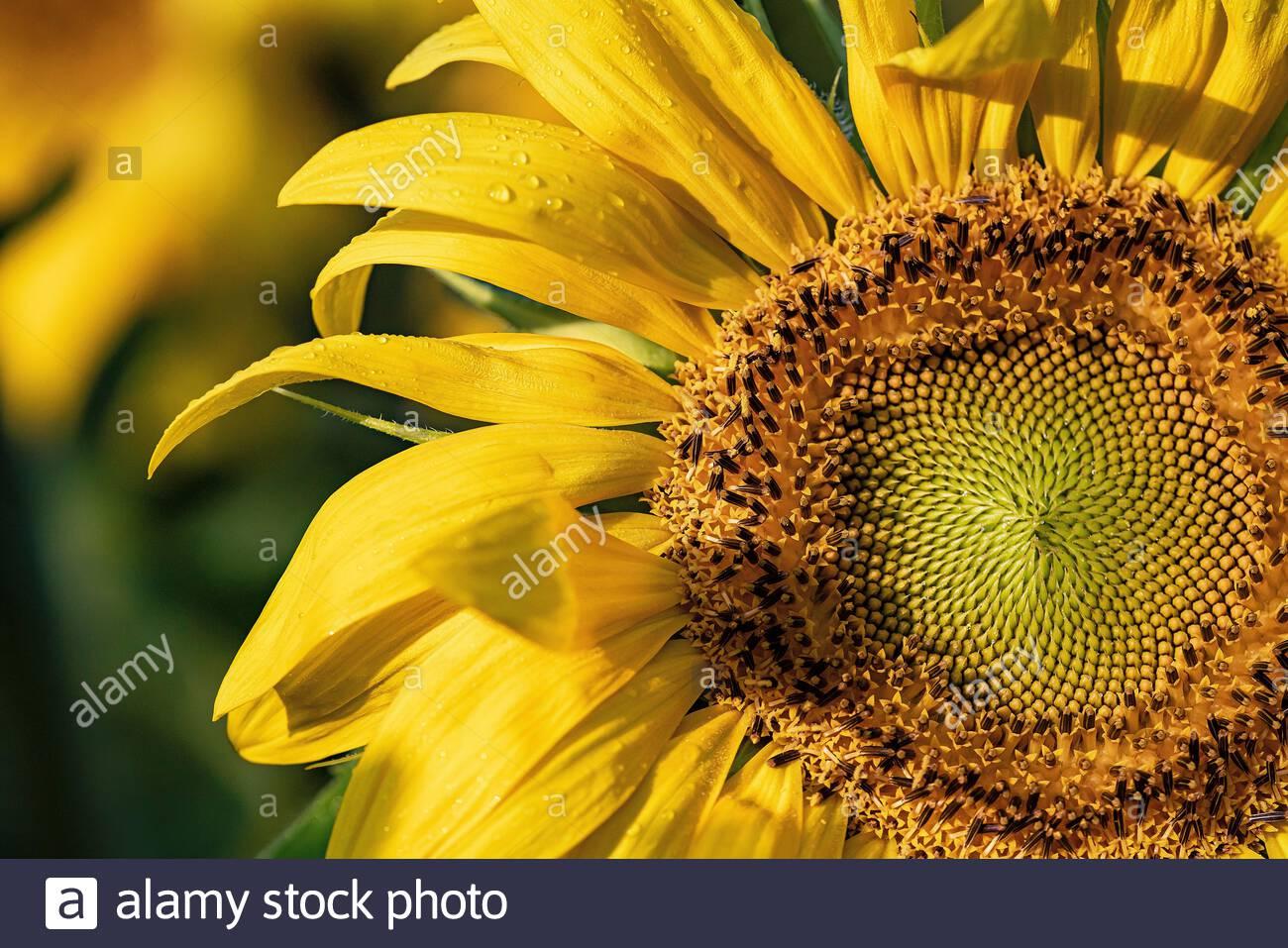 sunflower-helianthus-annuus-2C9888E.jpg