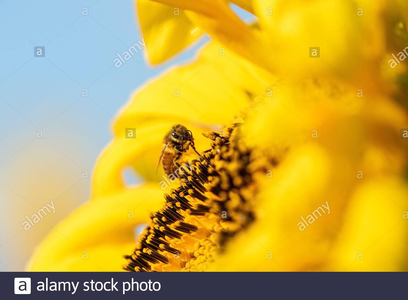 honey-bee-pollinating-an-organic-sunflow