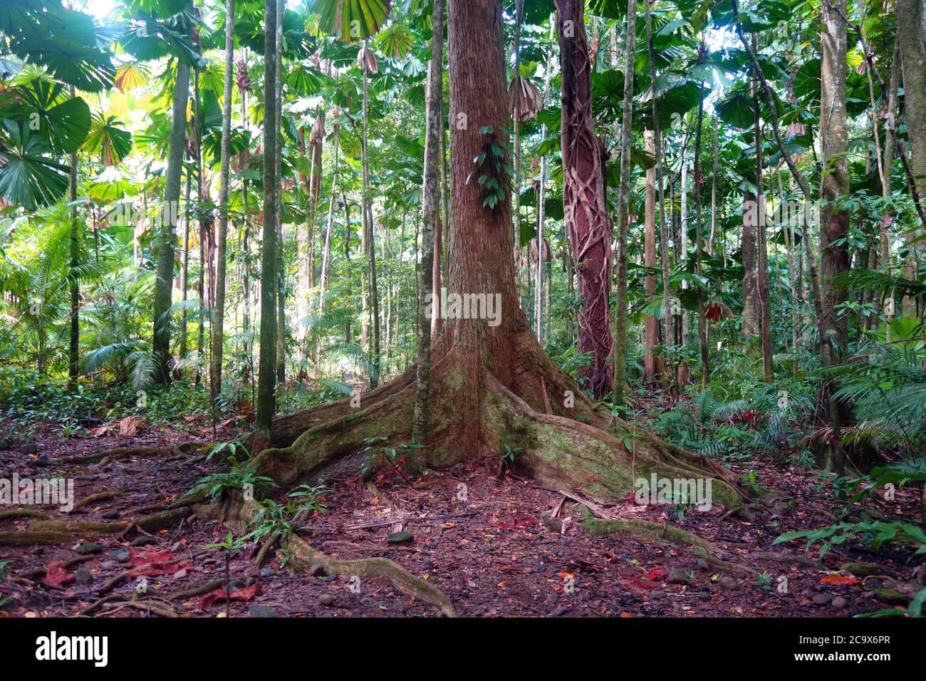 Rainforest floor, Cooper Creek wilderness, Daintree National Park, Queensland, Australia Stock Photo