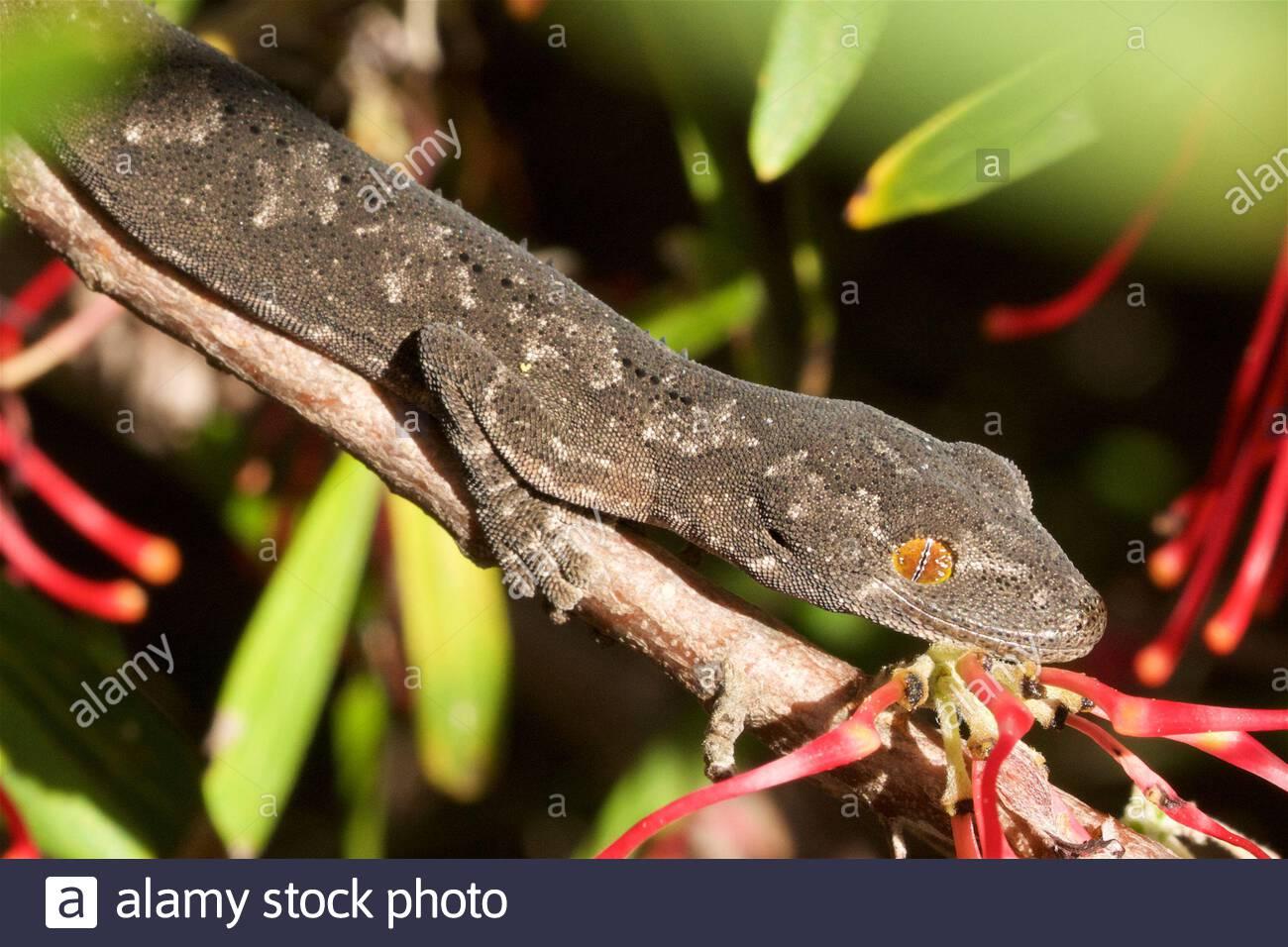 a-south-western-spiny-tailed-gecko-strophurus-spinigerus-in-perth-western-australia-2CA0758.jpg