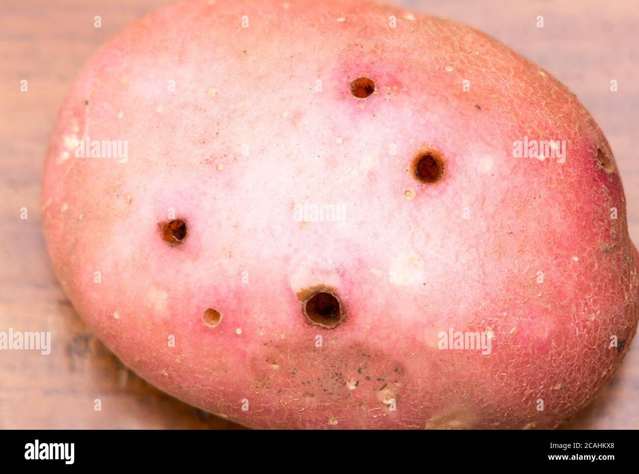Potato problems, tuber showing slug or wireworm damage in variety Red Rooster, England, UK Stock Photo