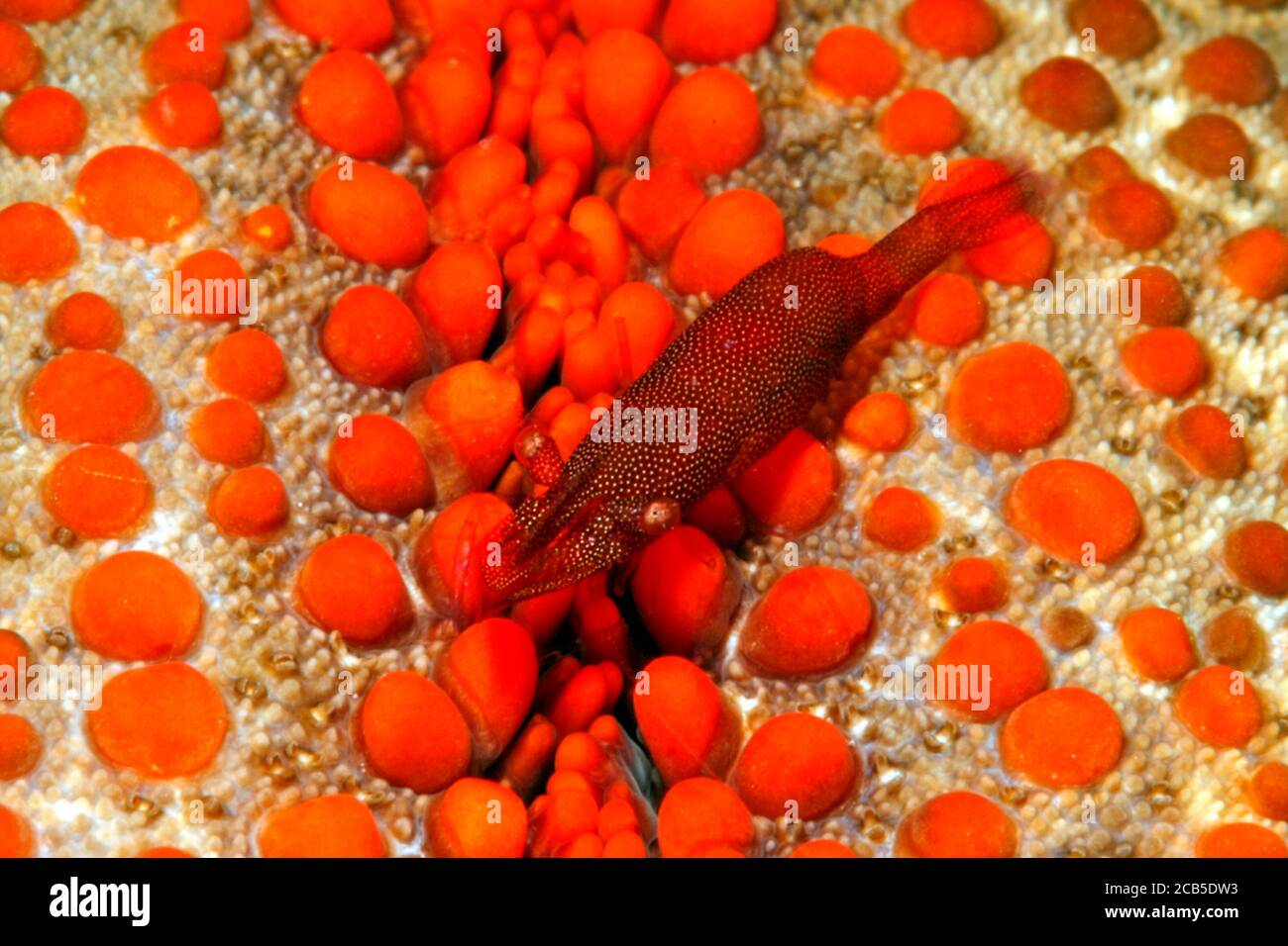 commensal-shrimpzenopontonia-soror-previously-described-as-periclimenes-soror-shrimp-is-commensal-on-sea-stars-and-takes-the-color-of-the-host-2CB5DW3.jpg