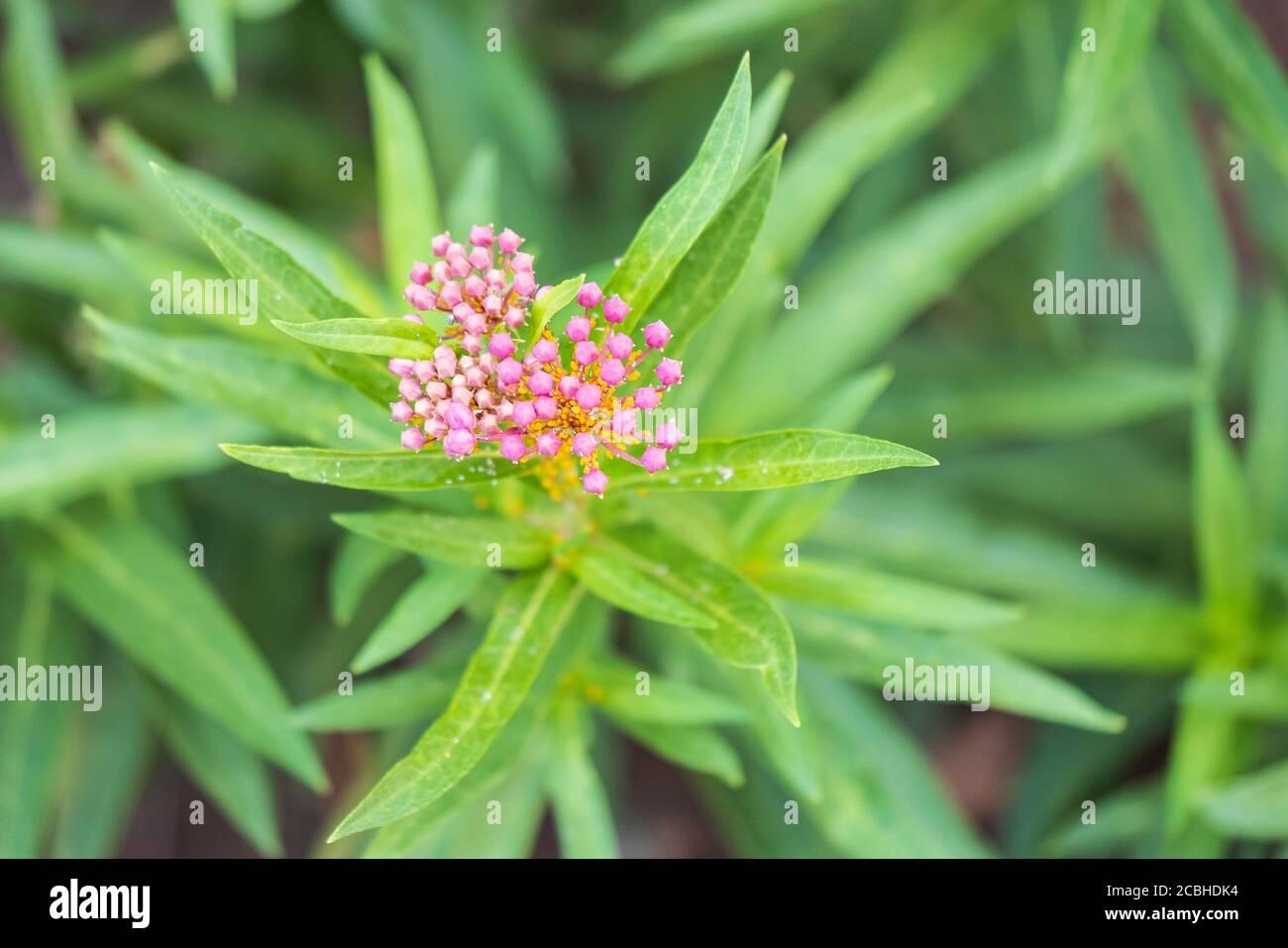 milkweed-or-butterfly-weed-cinderella-a-