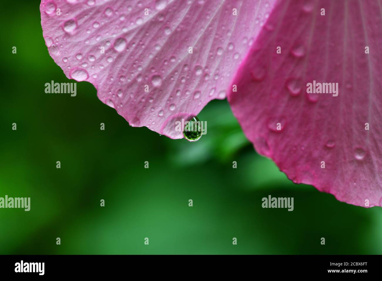 flower-of-minerva-rose-of-sharon-common-hibiscus-pink-althea-water-droplets-after-a-rain-2CBX6FT.jpg