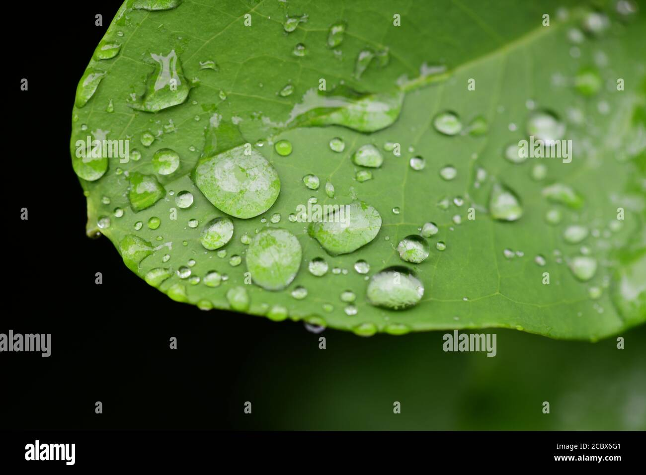 plants-nature-natural-science-hydrophobic-action-of-water-droplets-on-a-plant-leaf-beading-2CBX6G1.jpg