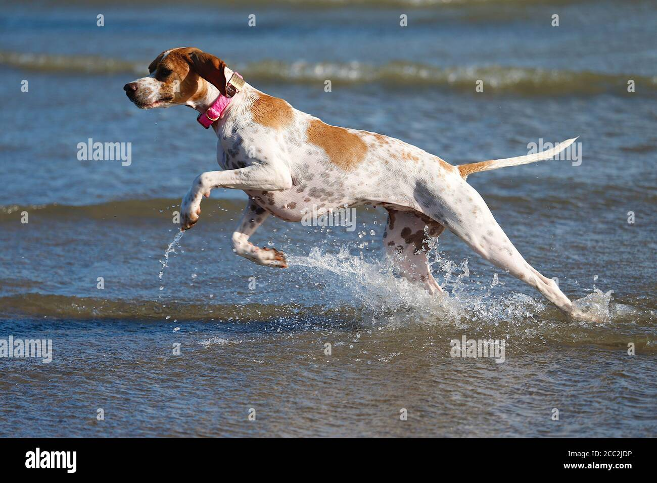 Camber, East Sussex, UK. 17 Aug, 2020. UK Weather: The wind has picked up which is Ideal for these kite surfers who take advantage of the blustery conditions at Camber in East Sussex. A rescue English pointer enjoys splashing about in the sea at Camber. Photo Credit: Paul Lawrenson-PAL Media/Alamy Live News Stock Photo