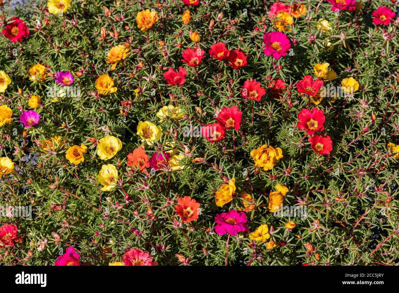 multi-color-flowers-of-portulaca-grandif