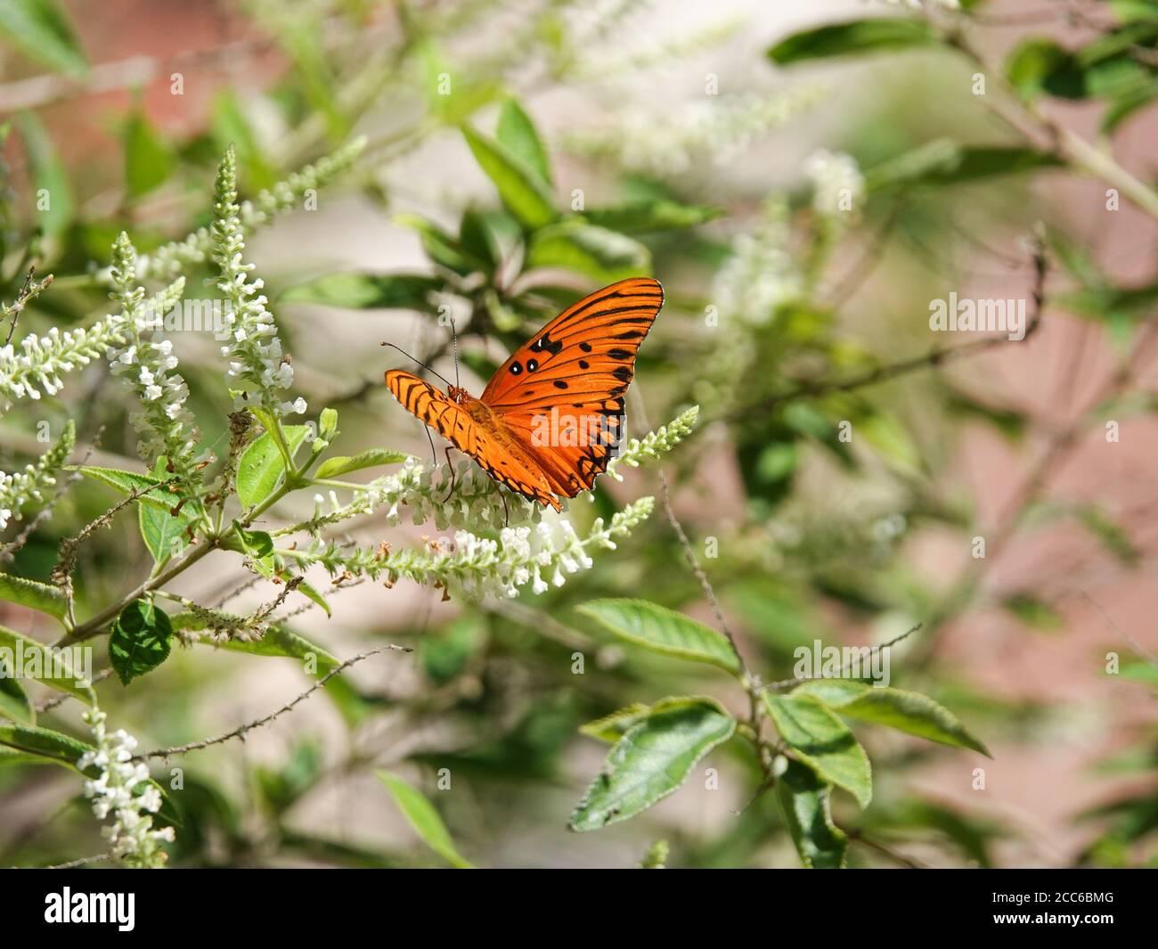 gulf-fritillary-butterfly-argraulis-vani