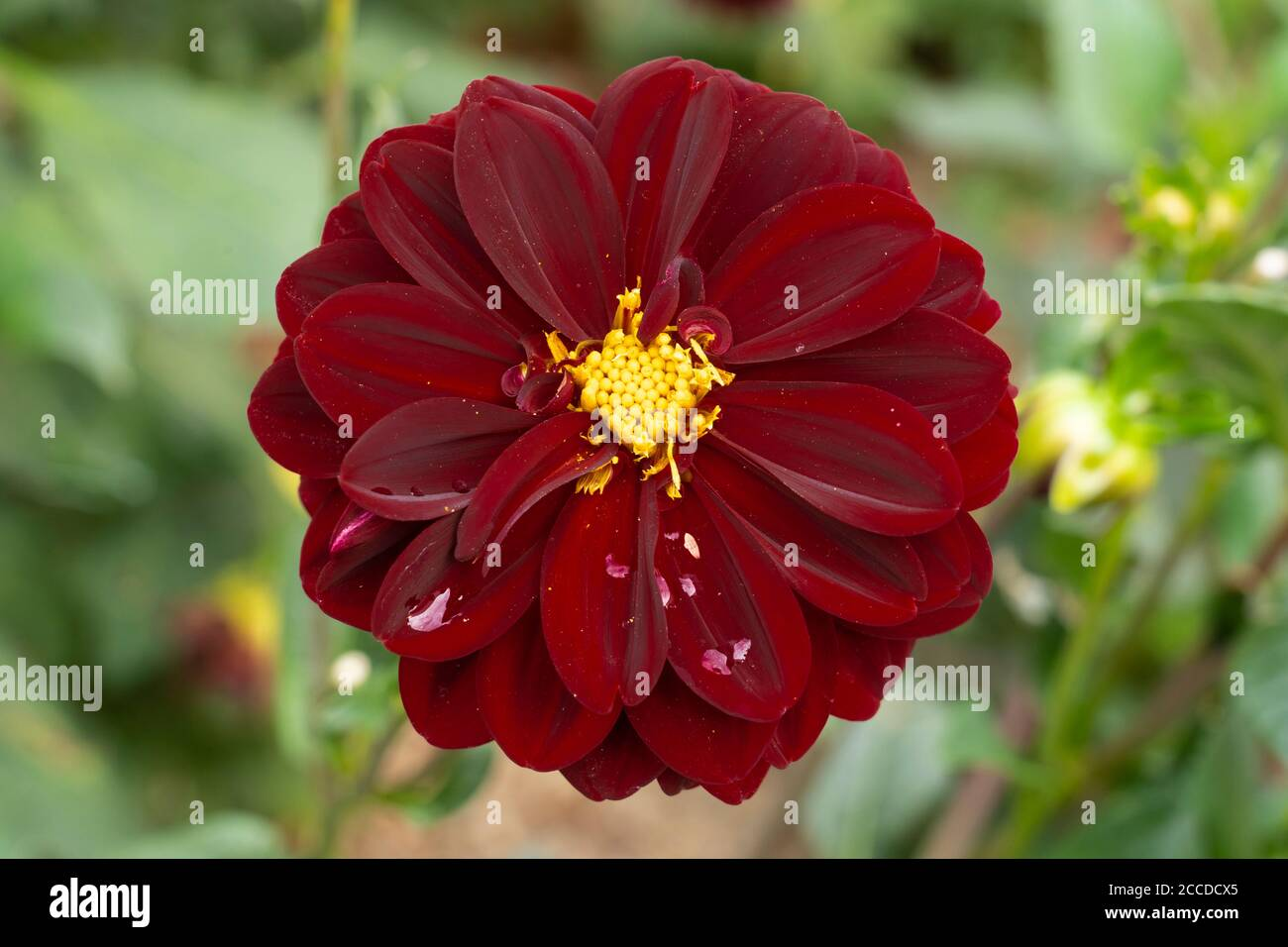 intense-dark-red-flower-with-a-compact-y