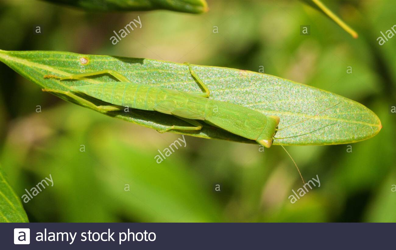 australian-green-mantis-orthodera-ministralis-demonstrating-camouflage-while-resting-on-a-green-leaf-in-the-sun-perth-western-australia-2CCGHYR.jpg