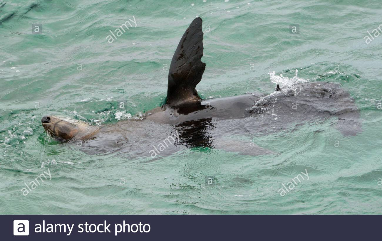 a-new-zealand-fur-seal-arctocephalus-forsteri-lolling-about-upside-down-with-a-flipper-in-the-air-at-rottnest-islandwadjemup-western-australia-2CDYRA6.jpg