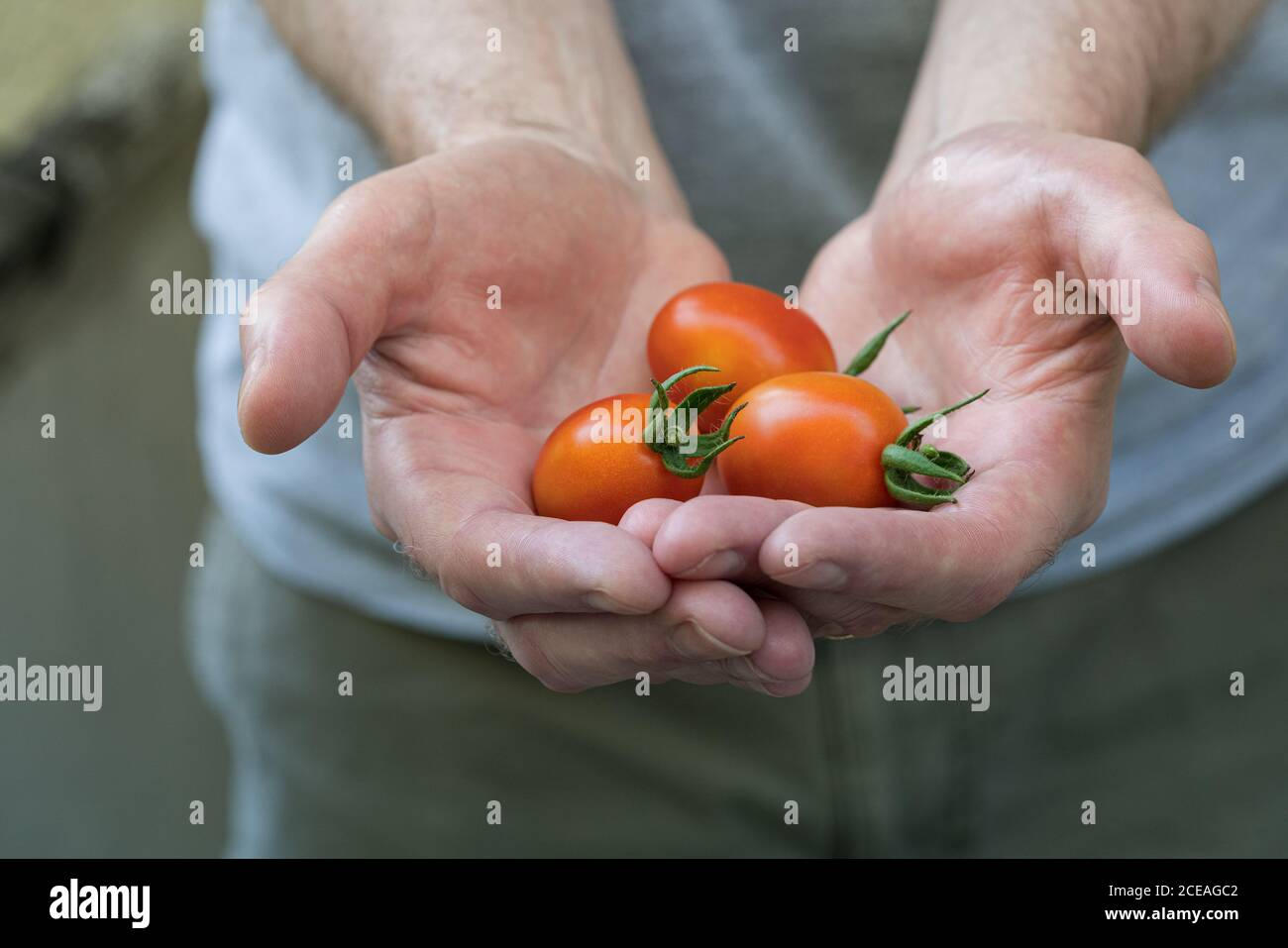 a-man-with-hard-working-rough-hands-holds-out-a-fresh-crop-of-ripe-grape-tomatoes-from-a-recent-harvest-authentic-gardening-2CEAGC2.jpg