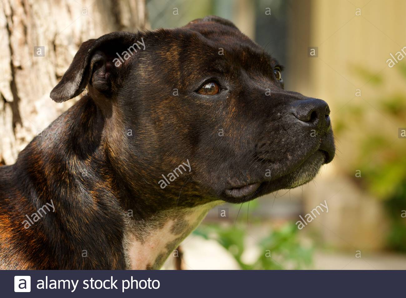 a-head-portrait-of-a-female-english-staffordshire-bull-terrier-2CEW89P.jpg