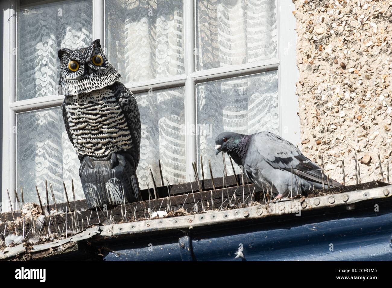 pigeon-next-to-a-decoy-bird-of-prey-owl-deterrent-on-a-window-ledge-with-spikes-2CF3TM5.jpg