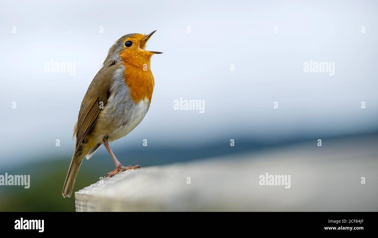 a-european-robin-erithacus-rubecula-comm
