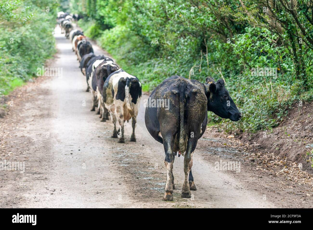 timoleague-west-cork-ireland-4th-sep-2020-west-cork-farmer-kay-deasy-returns-her-dairy-herd-of-70-cows-to-the-fields-after-milking-on-her-farm-in-timoleague-the-day-will-be-a-mix-of-sunny-spells-and-scattered-showers-with-top-temperatures-of-14-to-17-degrees-credit-ag-newsalamy-live-news-2CF9F3A.jpg