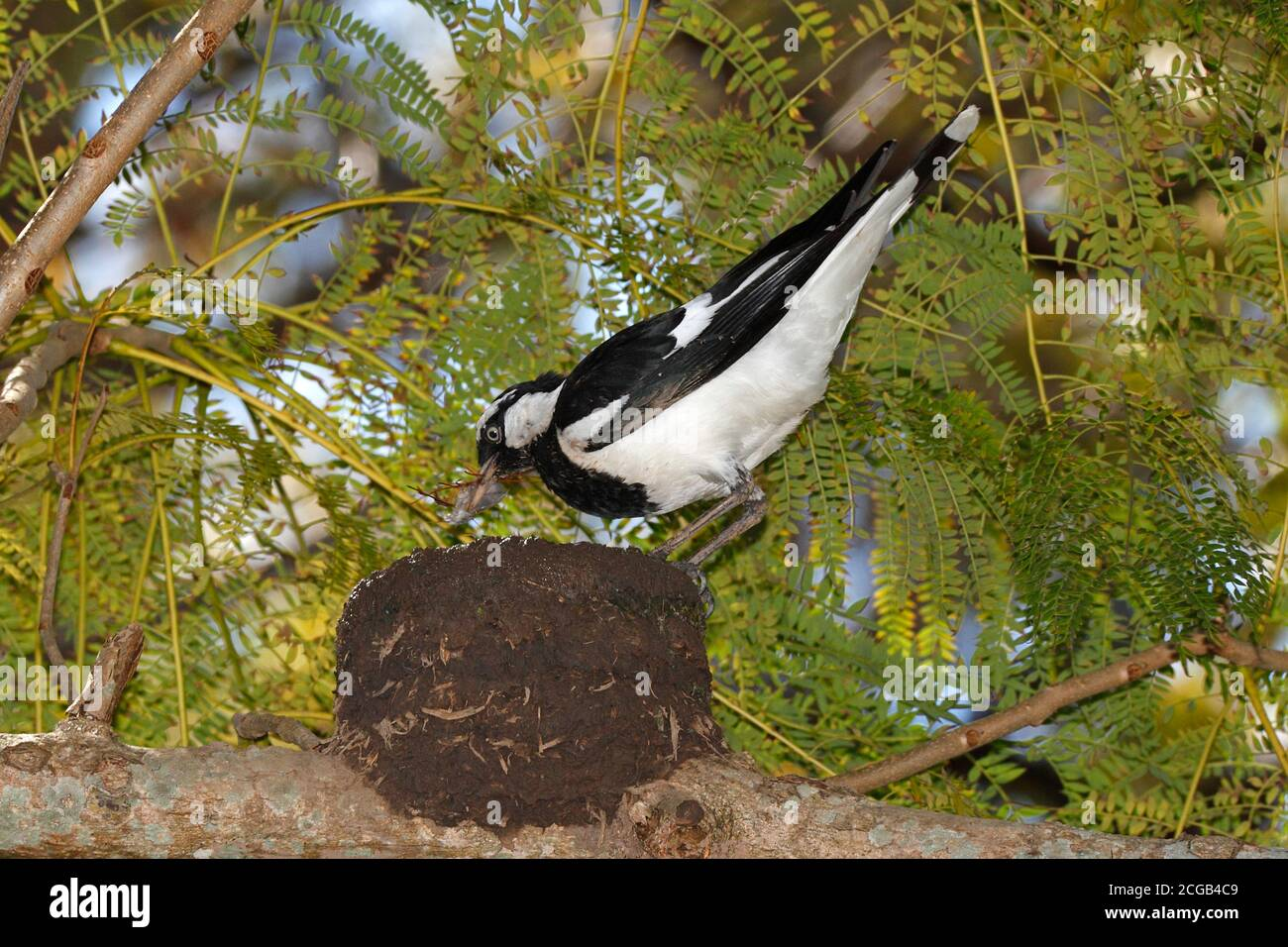 magpie-lark-also-known-as-peewee-peewit-or-mudlark-grallina-cyanoleuca-male-bird-building-nest-from-mud-and-grasses-which-can-be-seen-in-his-beak-2CGB4C9.jpg
