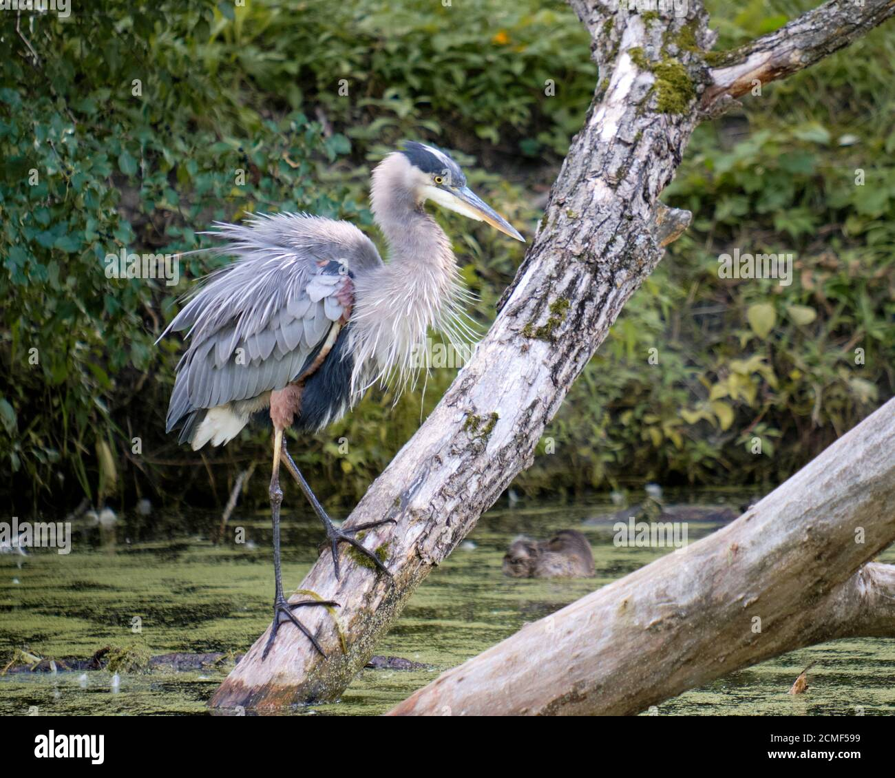 a-great-blue-heron-ardea-herodias-standing-on-large-trunk-in-pond-water-looking-dishevelled-2CMF599.jpg