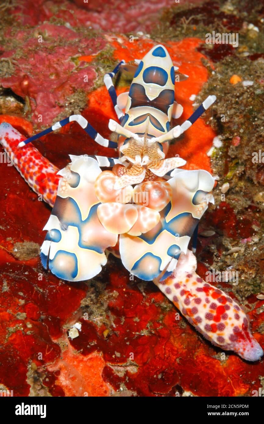 harlequin-shrimp-hymenocera-picta-with-its-sea-star-food-a-comet-sea-star-linckia-multifora-tulamben-bali-indonesia-bali-sea-indian-ocean-2CN5PDM.jpg