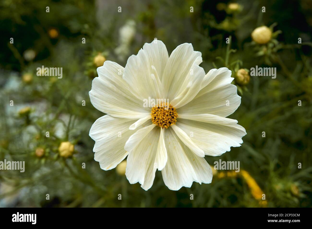 closeup-of-a-white-coreopsis-flower-bloo