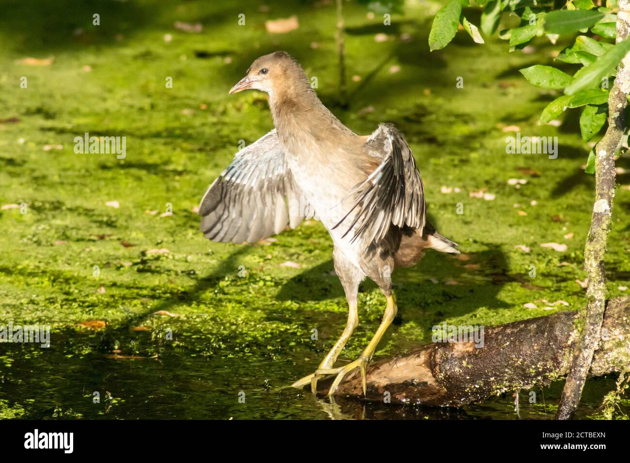 Juvenile Moorhen standing on branch flapping its wings after cleaning or preening. Water rail, gallinula chloropus, rallidae Stock Photo