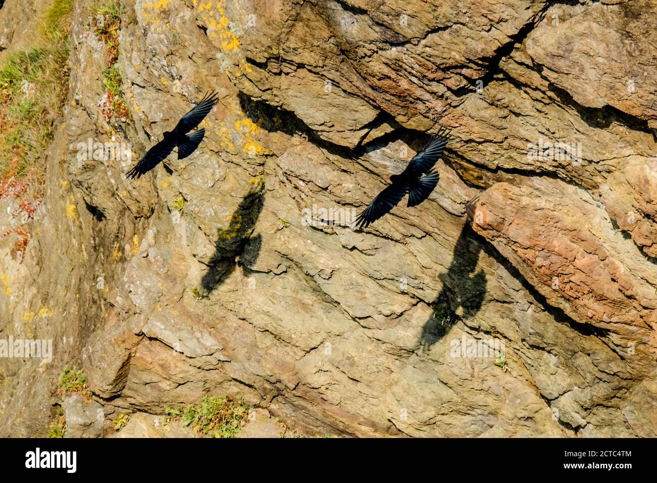 a-pair-of-red-billed-choughs-at-the-most-southerly-point-on-the-llizard-peninsula-cornwall-uk-latin-name-is-pyrrhocorax-pyrrhocorax-2CTC4TM.jpg