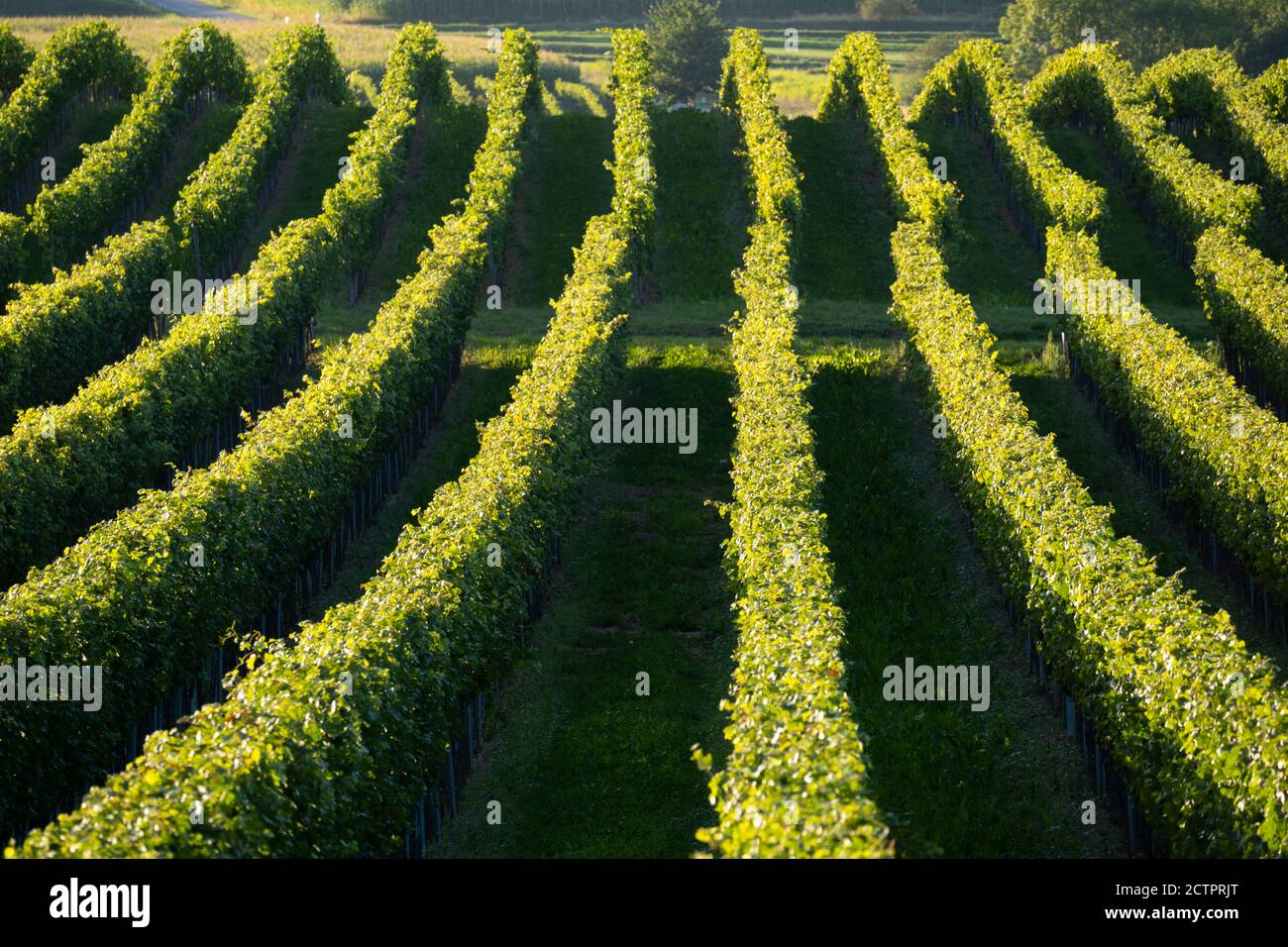 abstract-view-on-rows-of-grape-vines-in-