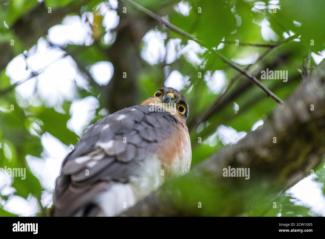 male-eurasian-sparrowhawk-in-a-plum-tree
