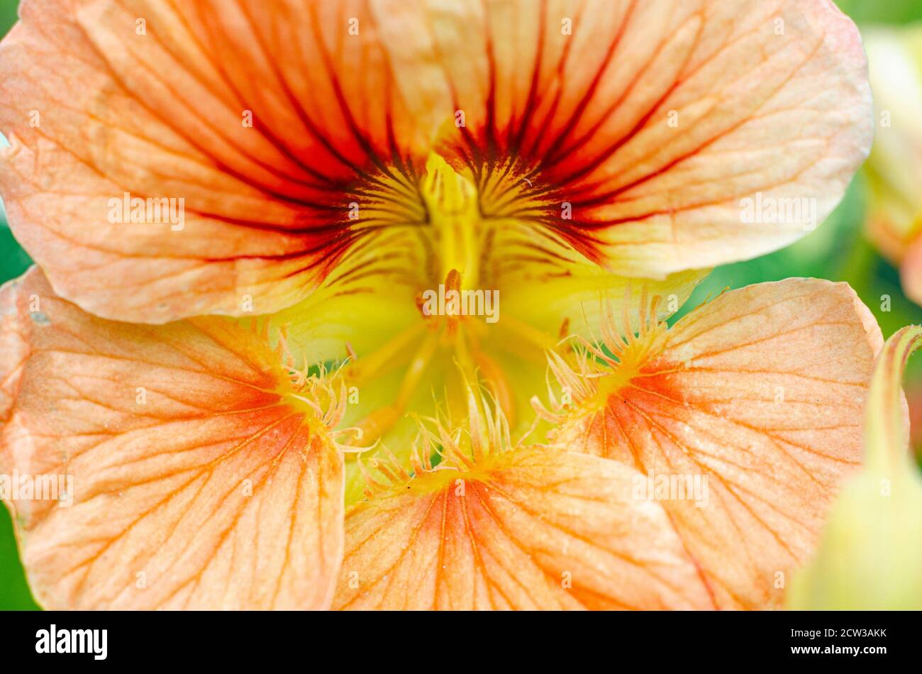a-close-up-view-of-a-peach-coloured-nasturtium-or-tropaeolum-flower-2CW3AKK.jpg