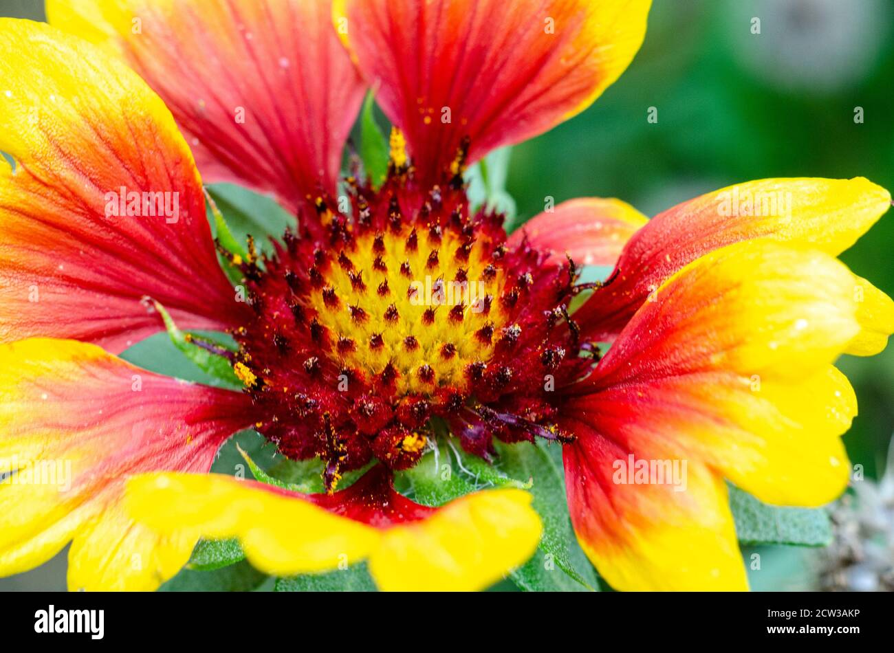 close-up-view-of-a-gaillardia-flower-with-vibrant-red-and-yellow-colours-2CW3AKP.jpg