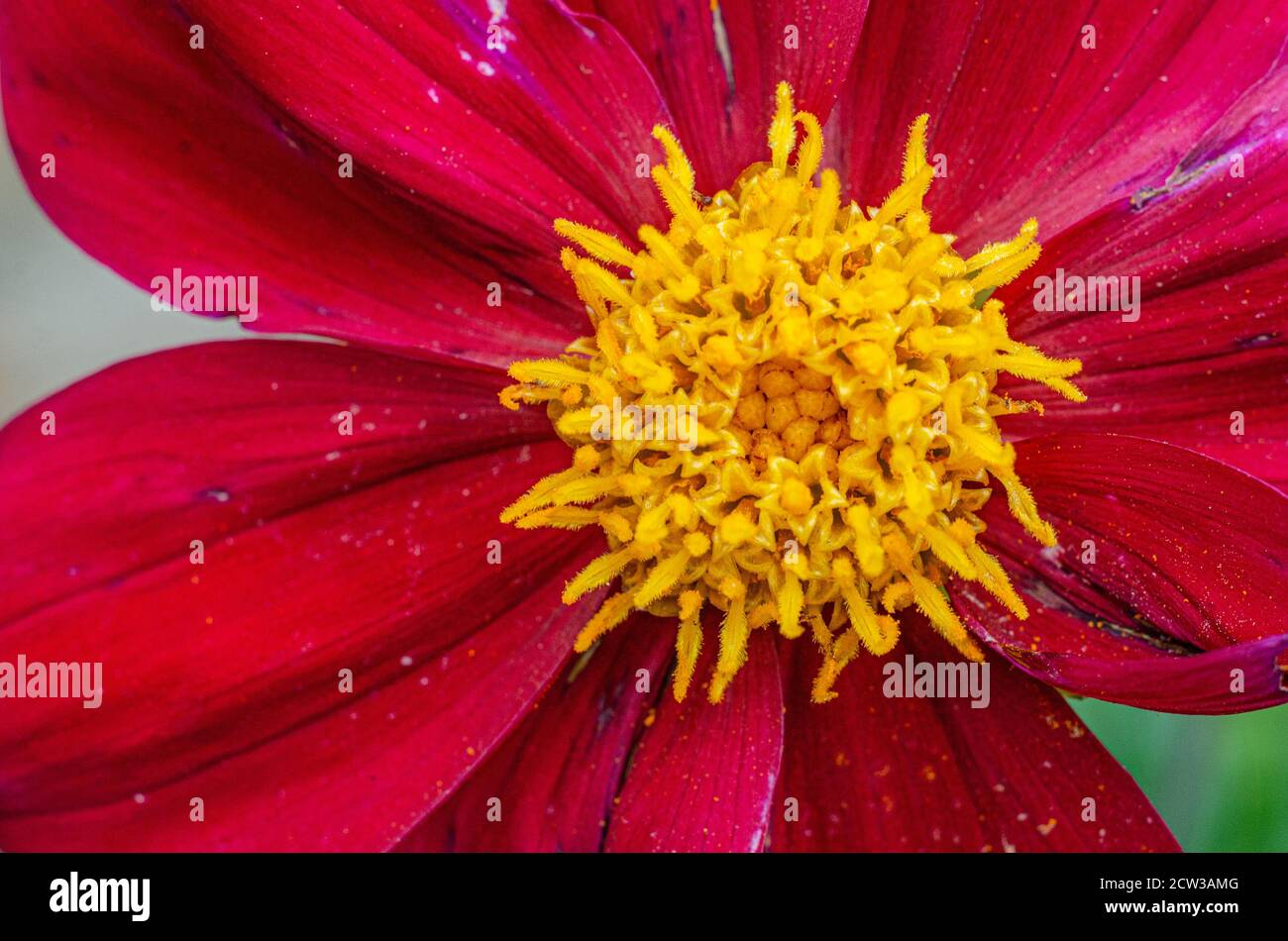 close-up-view-of-a-red-dahlia-flower-with-yellow-pollen-2CW3AMG.jpg
