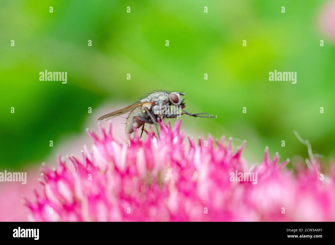 close-up-of-a-small-fly-on-sedum-flowers-2CW3AMY.jpg