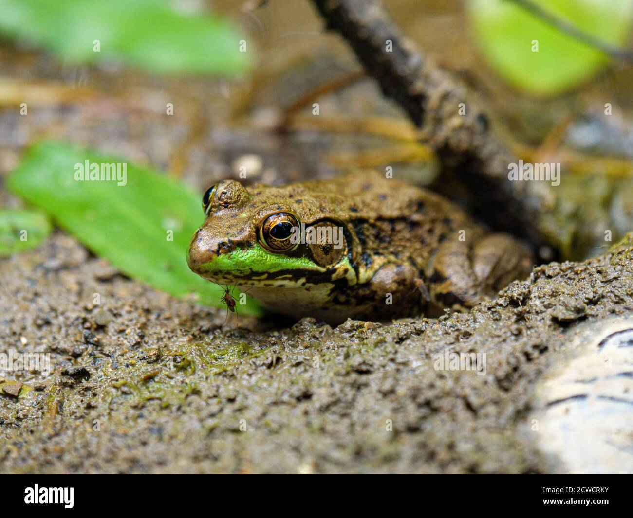 green-frog-lithobates-clamitans-with-mos