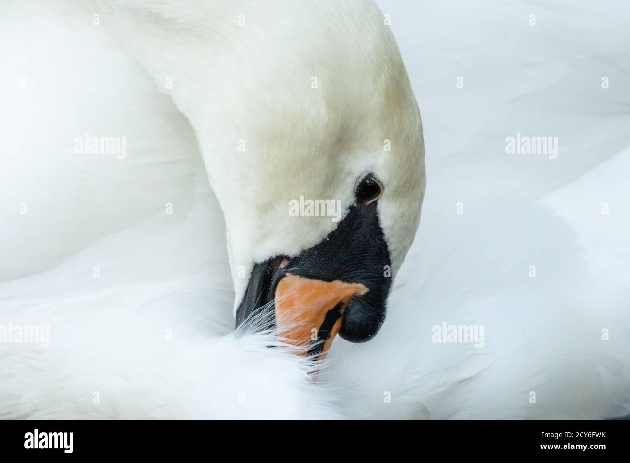 Mute swan preening her feathers. Symbol of beauty, pride, purity. Beautiful swan. England UK Stock Photo