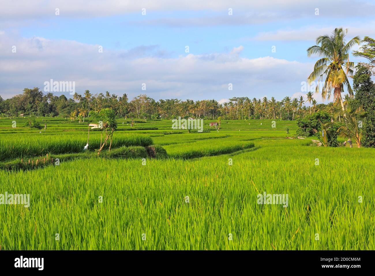 green-terraced-rice-paddies-pejeng-near-ubud-bali-indonesia-2D0CM6M.jpg