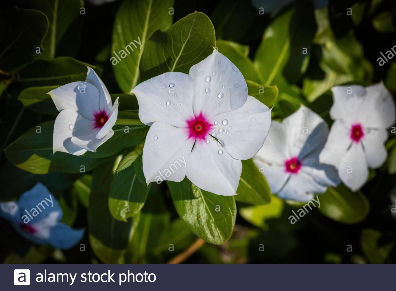 catharanthus-roseus-madagascar-periwinkl